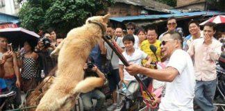 Chineses criam polêmica comendo 10 mil cachorros em festival de verão (2)