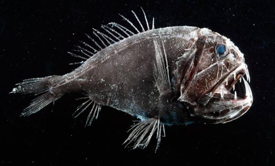 Nem mesmo os peixes abissais sobrevivem na Fossa das Marianas