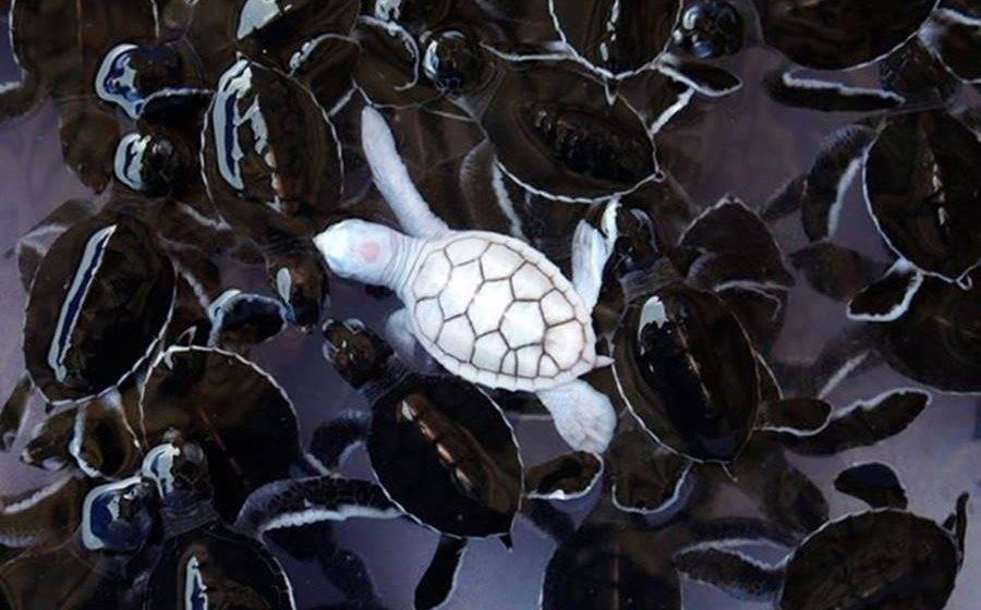 Tartaruga, um dos animais albinos