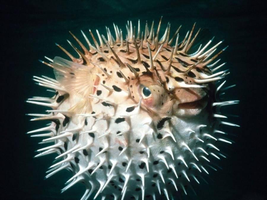 Baiacu (Teraodontidae)