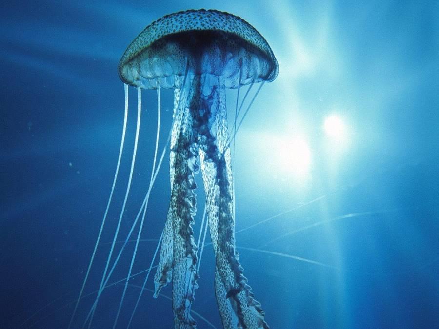 Água-viva-caixa-australiana (Cubozoa)