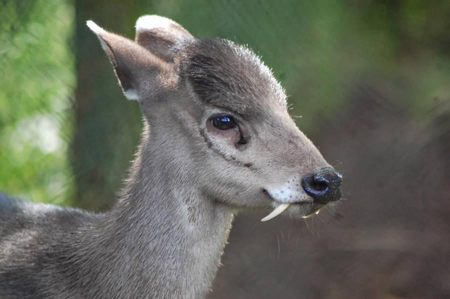 Cervo vampiro, um dos animais bizarros