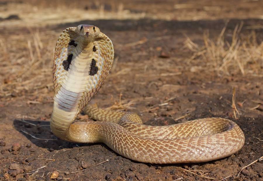 Cobra, um dos animais que mais matam