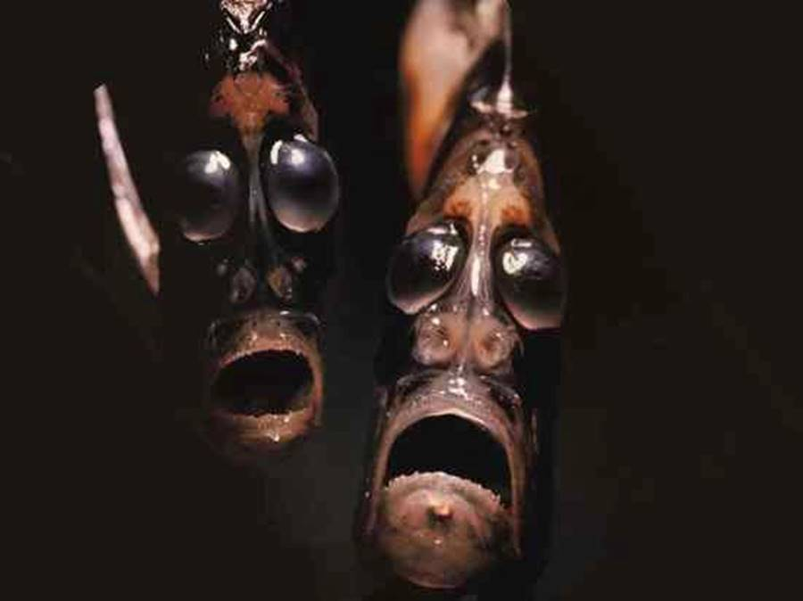 Peixe-machadinha, um dos animais bizarros