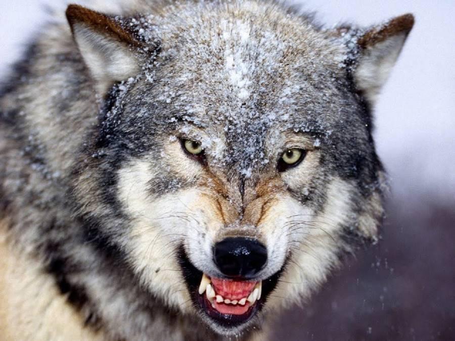 Lobo, um dos animais que mais matam