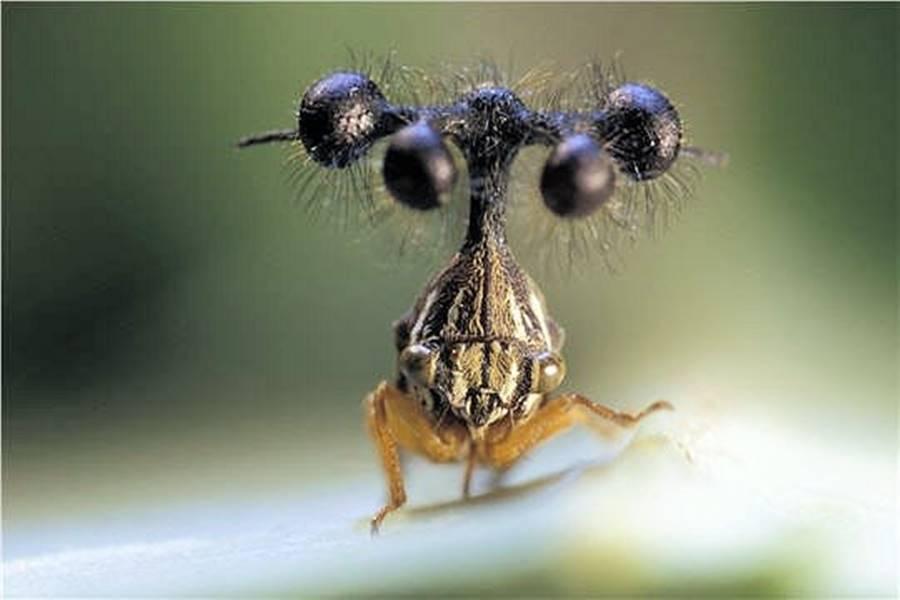 Inseto helicóptero, um dos animais bizarros
