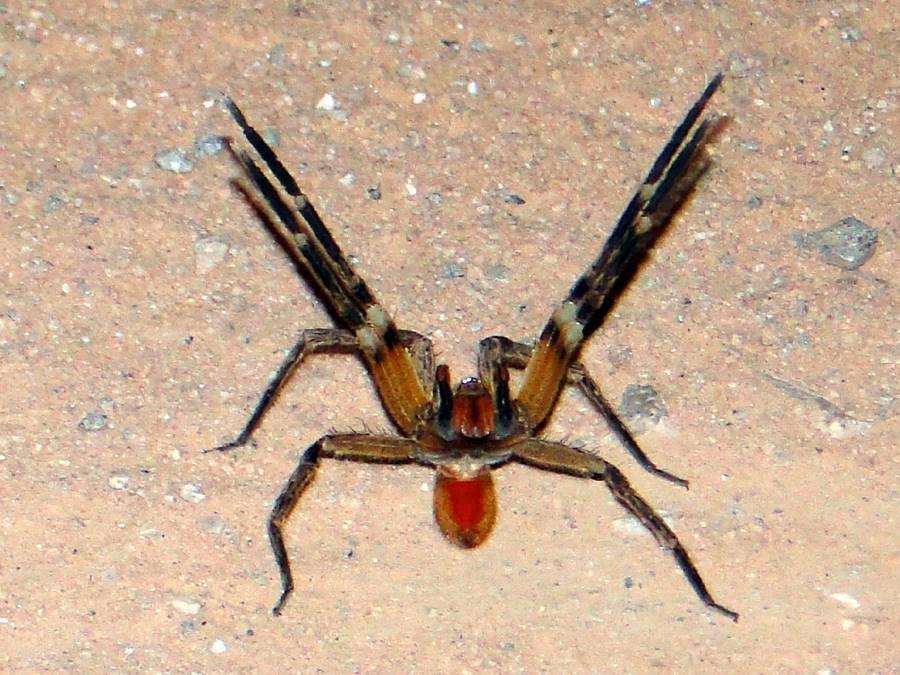 Aranha armadeira ou aranha-de-banana (Phoneutria)
