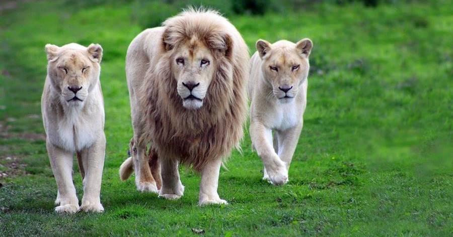 Leões, um dos animais que mais matam