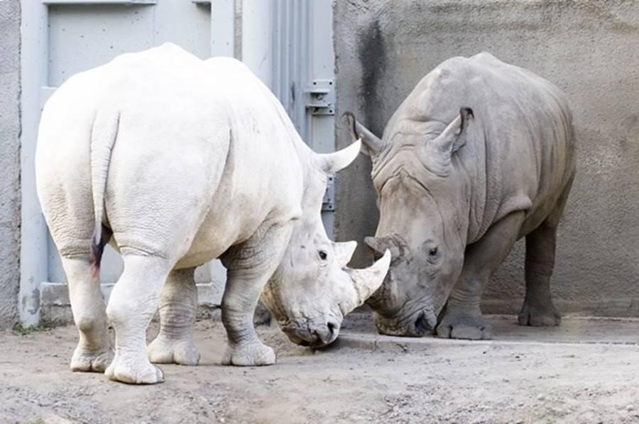 30-rinoceronte