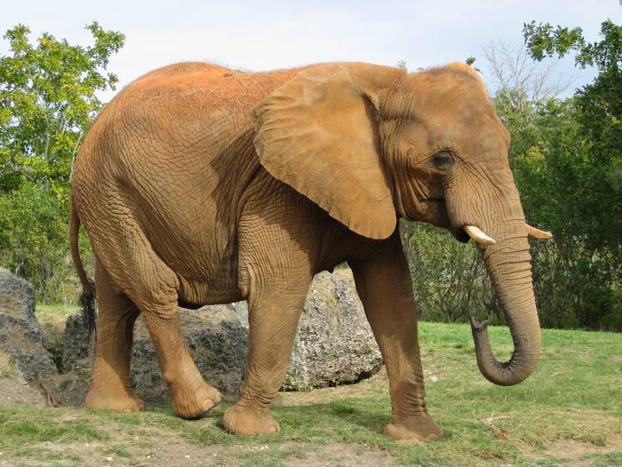 Elefante, um dos animais que mais matam
