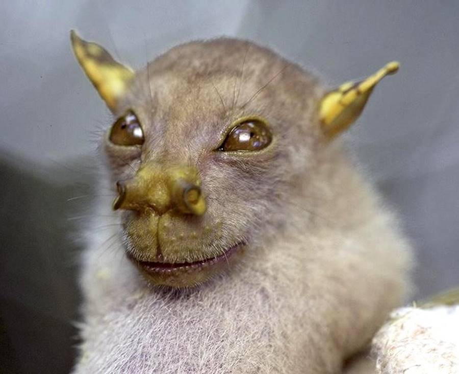 Morcego Yoda, um dos animais bizarros
