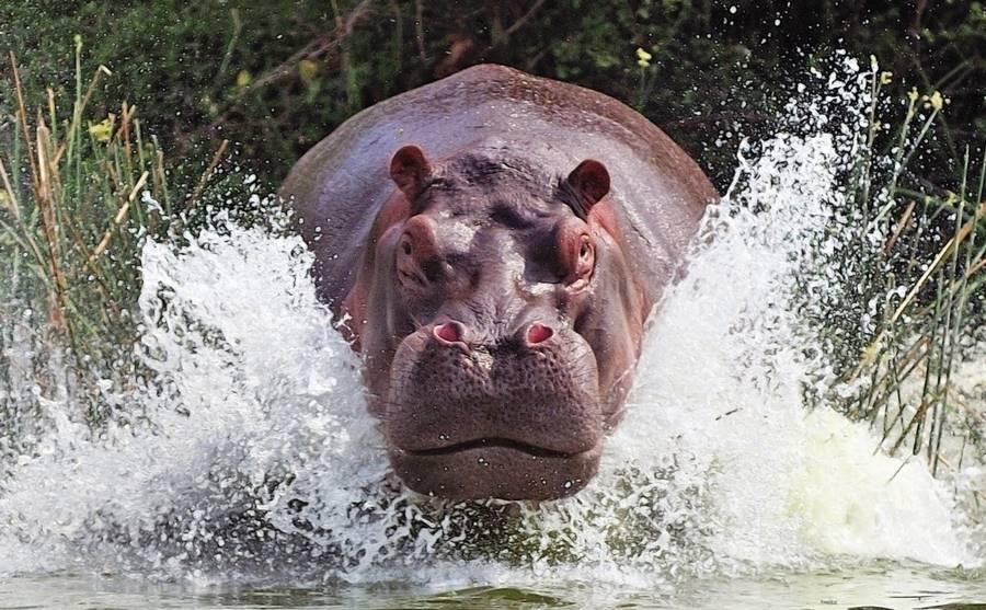 Hipopótamo, um dos animais que mais matam