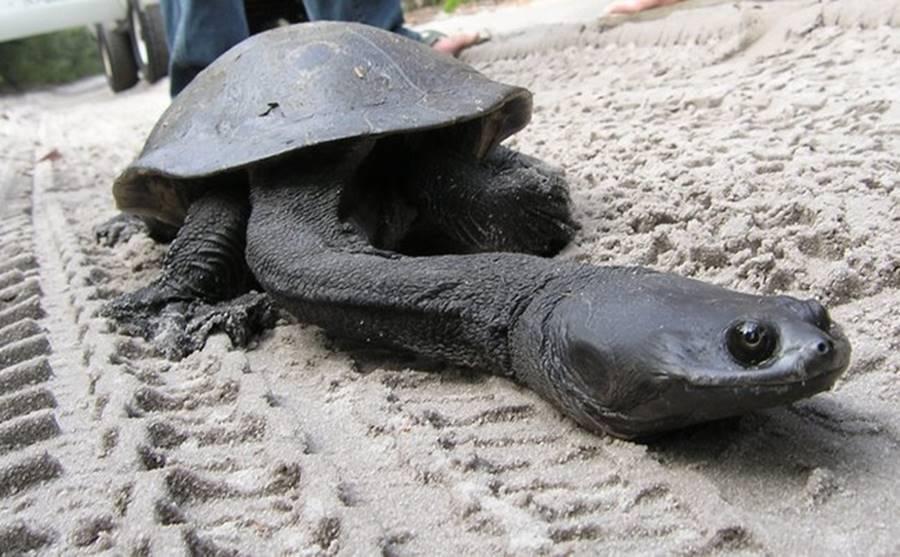 Tartaruga pescoçuda, um dos animais bizarros