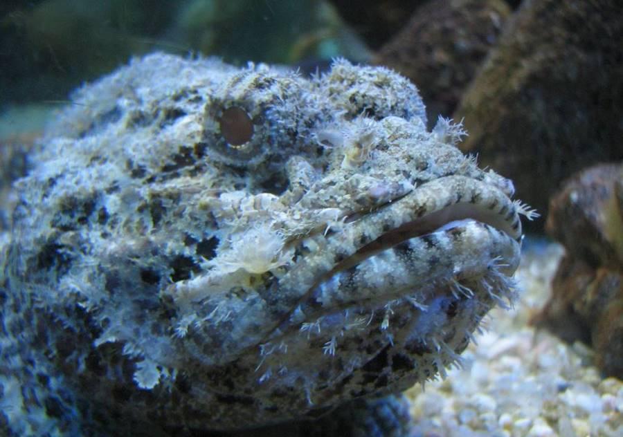 Peixe Pedra (Syncaceia verrucosa)