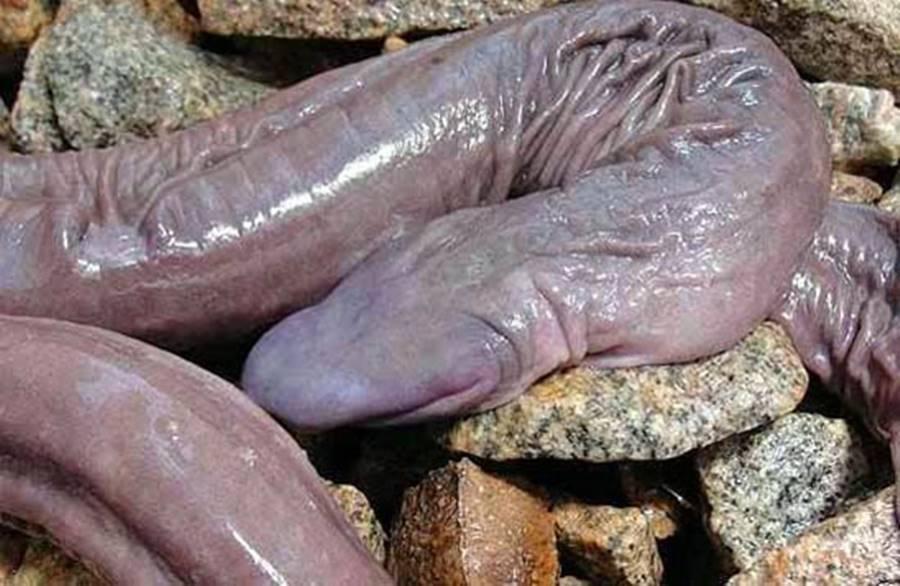 Cobra pênis, um dos animais bizarros