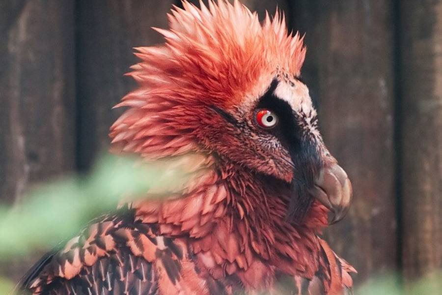 Abutre barbudo, um dos animais bizarros